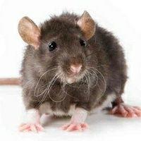 Os Ratos e As Razões Para Seus Níveis Excessivos De Cocô