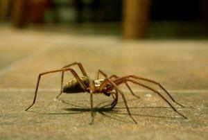 Dedetização – Aranhas Onde Estão e Como Combatê-Las