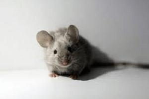 Desratização – Feijão Cru Para Matar Ratos Como é Feito