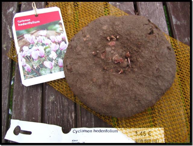 Cyclaam Hederifolium