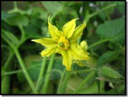 Marianna's Peace bloem