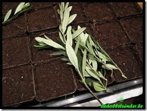 Hielstekken van de olijf (Olea europaea)