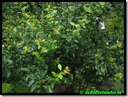 Pruimenboom enorme groei