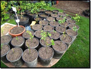 Verpotte poncirus trifoliata