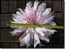 Dahlia 20cm