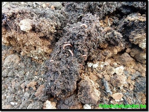 Veel wormen onder koffieprut