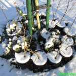 Appelonderstammen in pot