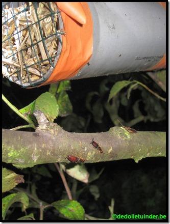 Oorwurmen in boomgaard