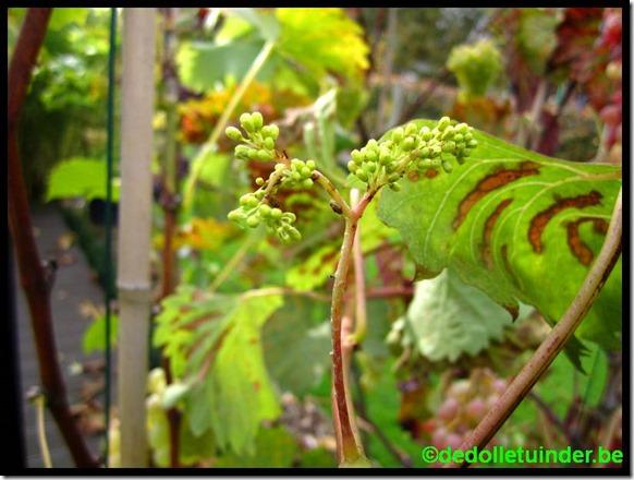 Druiven opnieuw in bloei