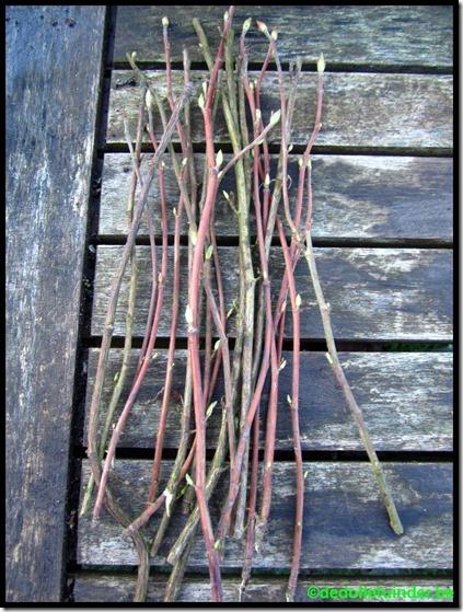 Rubus saguineum stekken