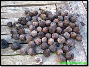 Juglans Nigra noten