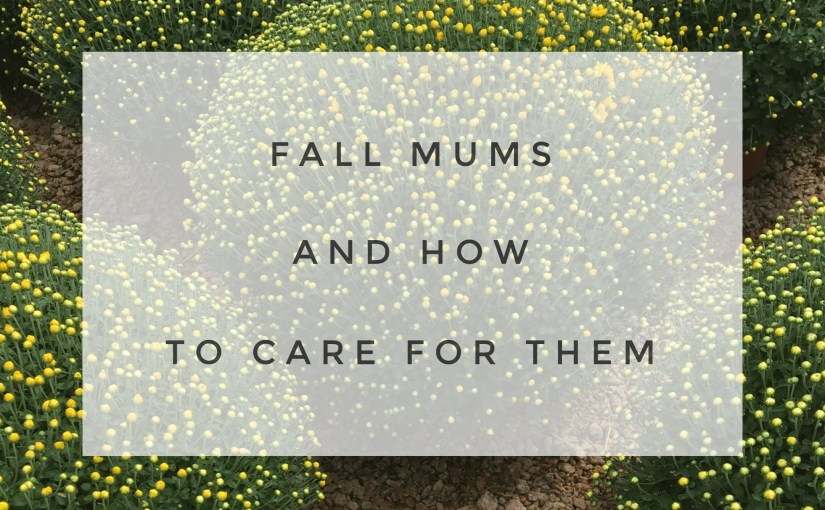 Fall Mums And How To Care For Them