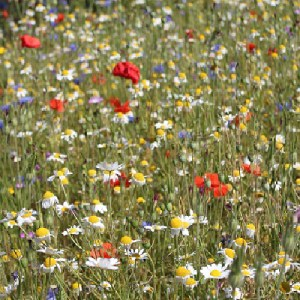 Cornfield Annuals Wildflower Mix