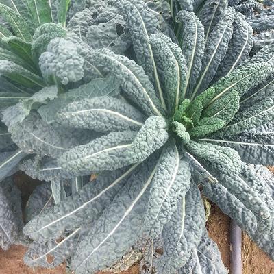 Kale Black Magic
