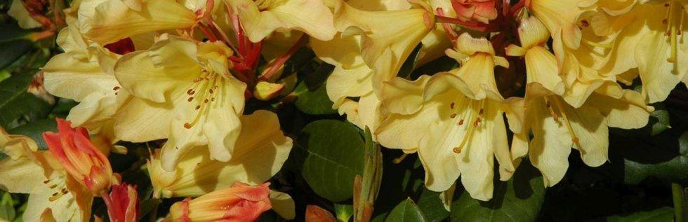 Rhododendron 'Nancy Evans'