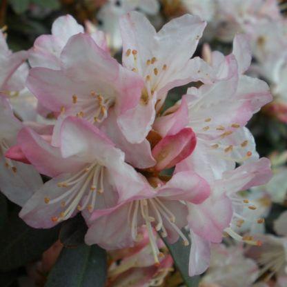 Dwarf Rhododendron Ginny Gee