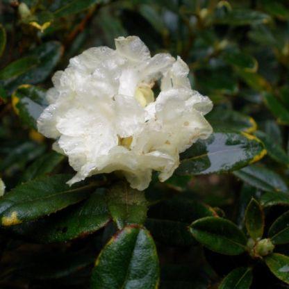 Rhododendron anthopogon hypenanthum Annapurna