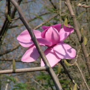 Magnolia campbellii Werrington