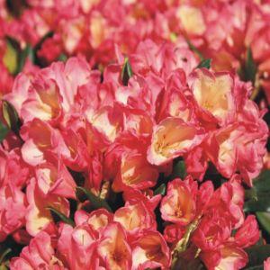 Rhododendron Barbarella