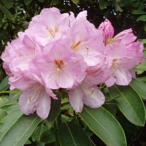Rhododendron Lavender Girl