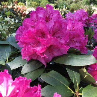 Rhododendron Walkure