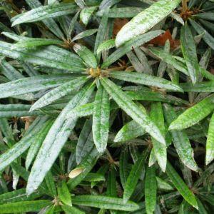 Rhododendron makinoi