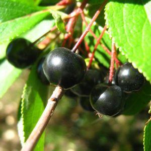 Aronia x prunifolia 'Nero'