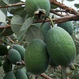 Feijoa sellowiana 'Mammoth'