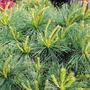 Pinus strobus Blue Shag