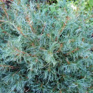Pinus strobus 'Tiny Kurls'
