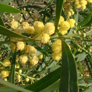 Acacia retinoides