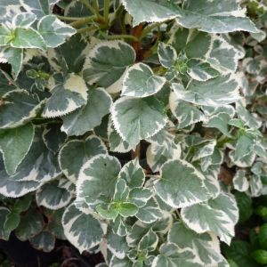 Hydrangea anomala subsp. petiolaris 'Silver Lining'