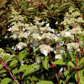 "Hydrangea paniculata 'Magical Himalaya"""