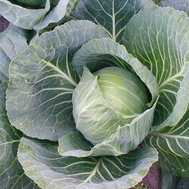 Cabbage, Wintergreen