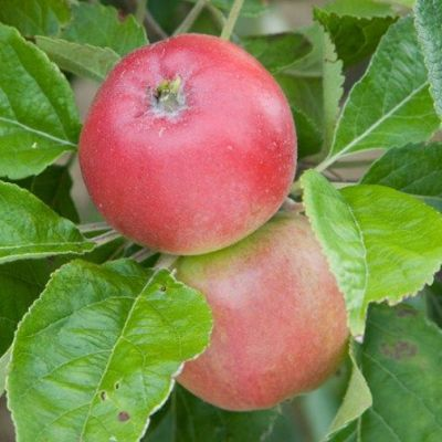 Apple 'Beauty of Bath'  (Bareroot)