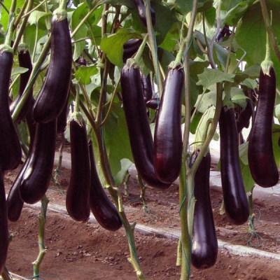 Aubergine long purple