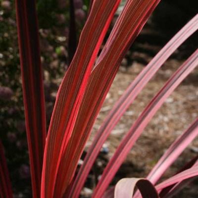 CORDYLINE australis 'Sunrise'