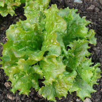 Lettuce Lattughino Verde