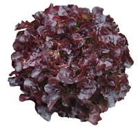 Lettuce Navarra