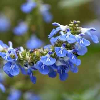 Salvia uliginosa (Bog Sage)