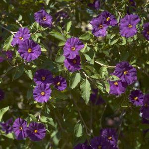 SOLANUM rantonnetii (Blue potato bush)