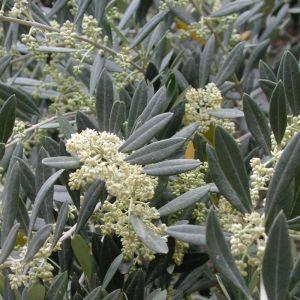 Olea europaea (Olive)