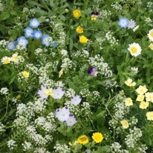Wildflower Mix, Flowering Lawn Mix