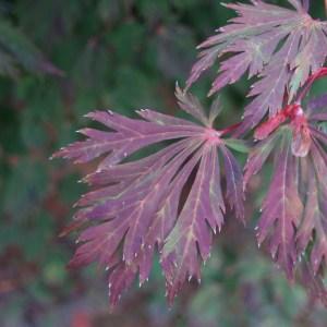 Acer japonicum aconitifolium
