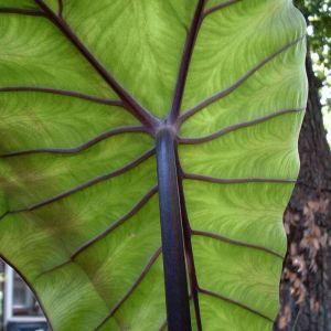 Colocasia fontanesii 'Black Stem'