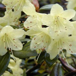 Rhododendron Princess Anne