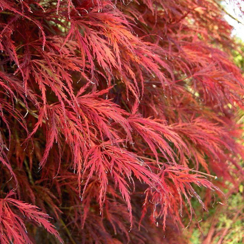 Acer Palmatum Dissectum Deelish Garden Centre