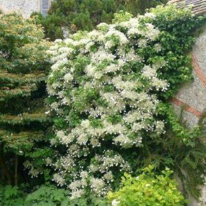 Hydrangea anomala Brookside Littleleaf