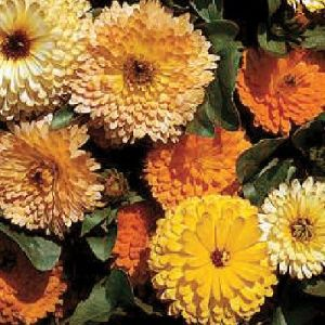 Calendula Double Art Shades