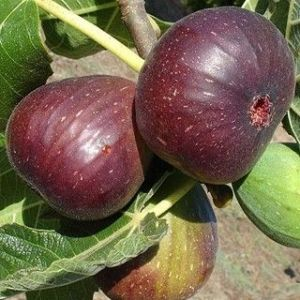 Ficus 'Brown Turkey'